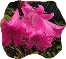 La belladona una planta medicinal
